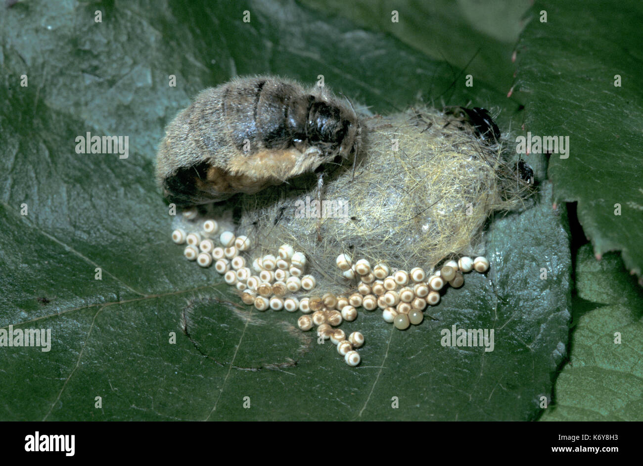 Vapourer Moth, Orgyia antigua, UK, wingless female with newly laid eggs on cocoon - Stock Image