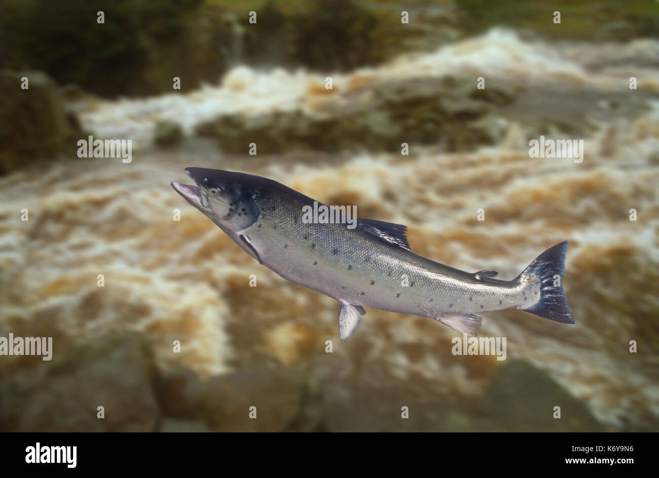 Leaping salmon with out of focus river as background - Stock Image