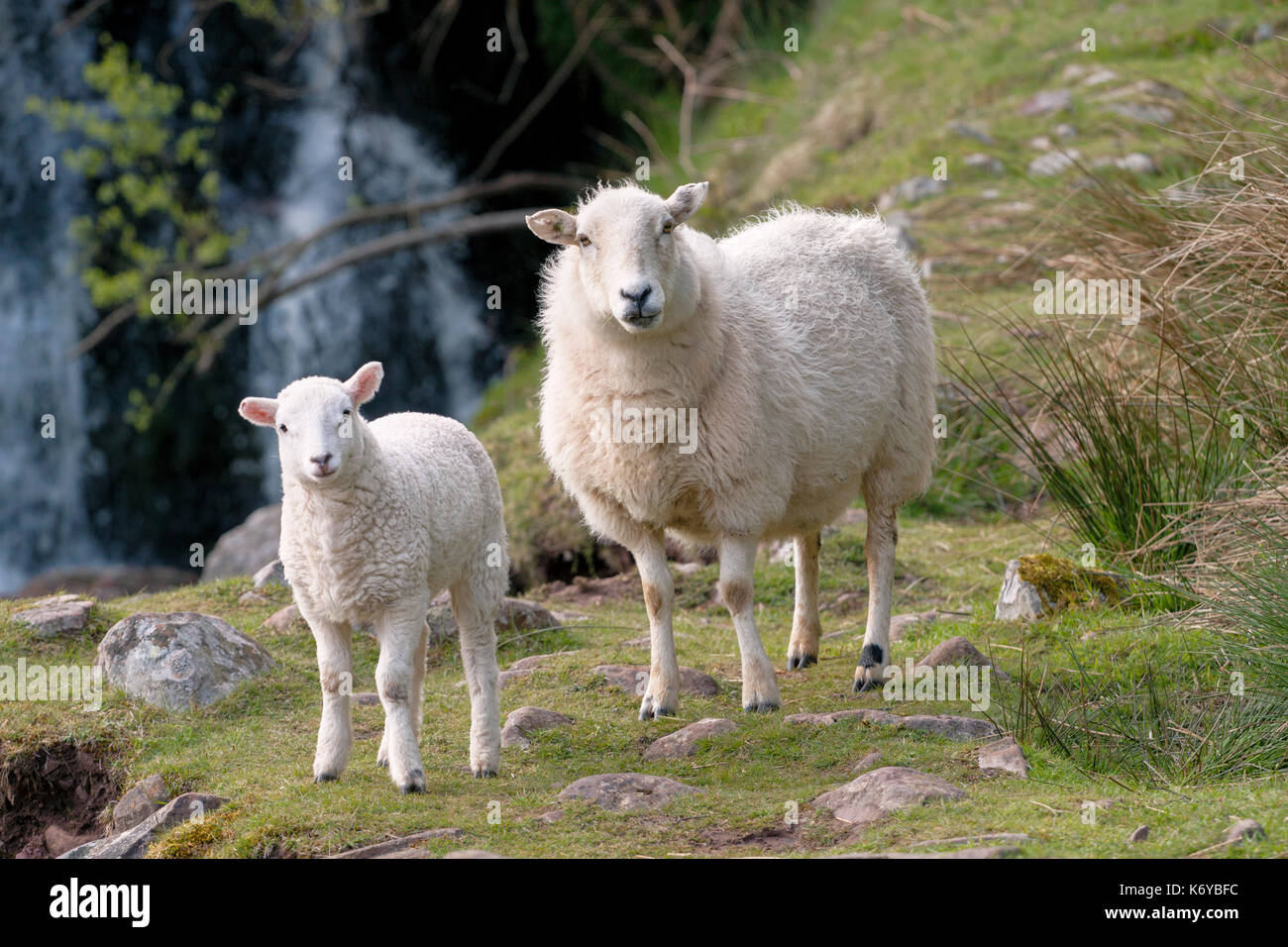 Two Mountain sheep, an ewe and a lamb, standing on a grassed area in front of a waterfall in Brecon Beacons National Park, Wales.This is common ground - Stock Image