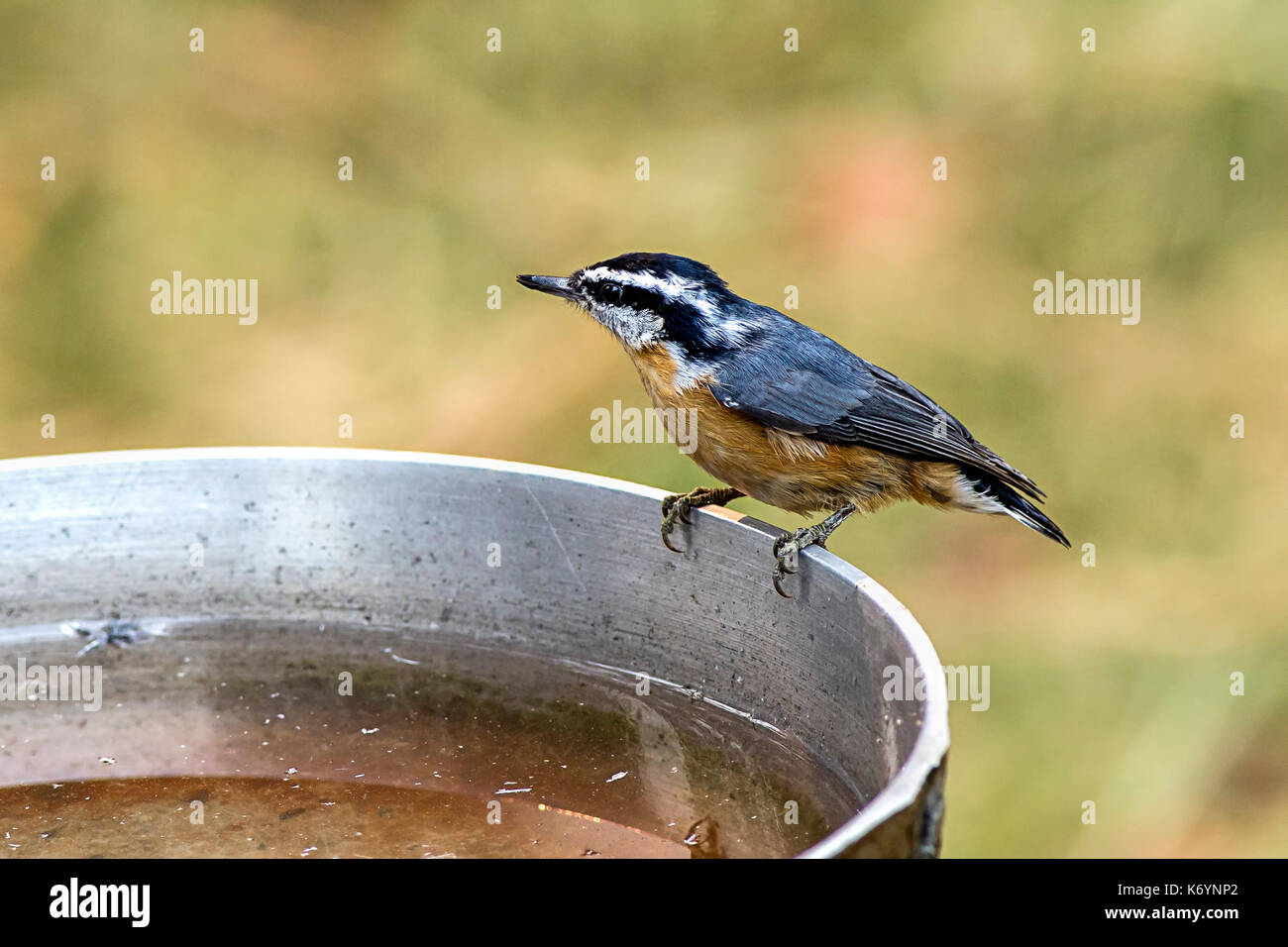 A small cute mountain chickadee perched on the side of a bird bath. - Stock Image
