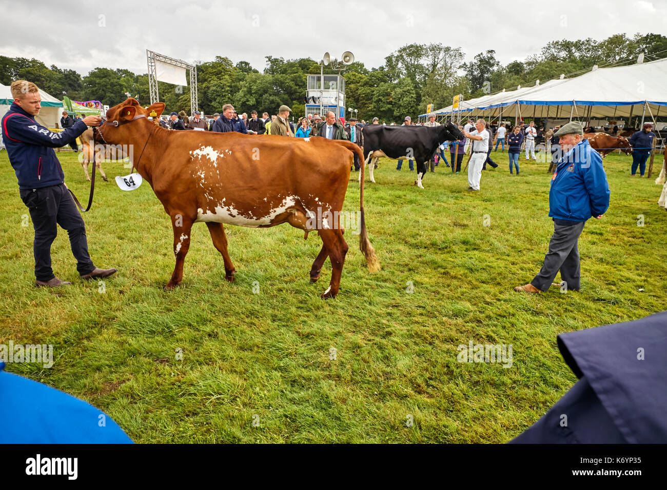Cow being judged at the Nantwich show - Stock Image