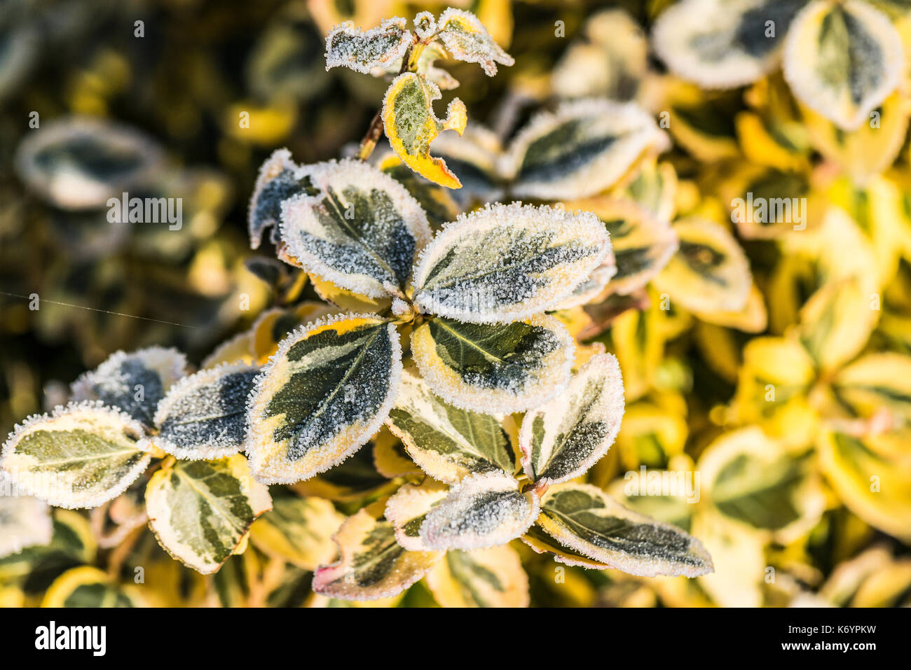 Frost on the leaves of an Euonymus fortunei 'Emerald 'n' Gold' - Stock Image
