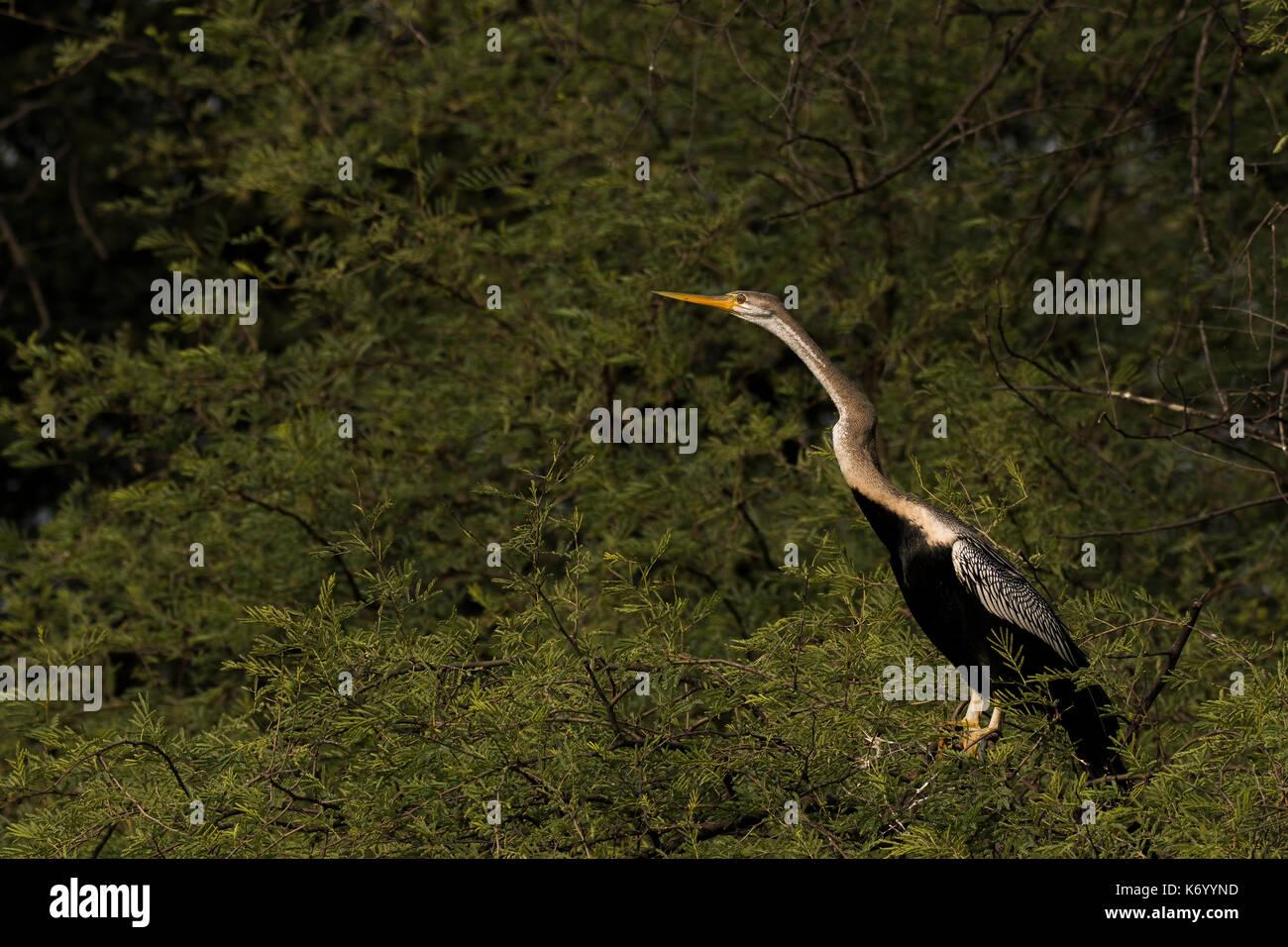 Darter aka snakebird sitting on a tree - Stock Image