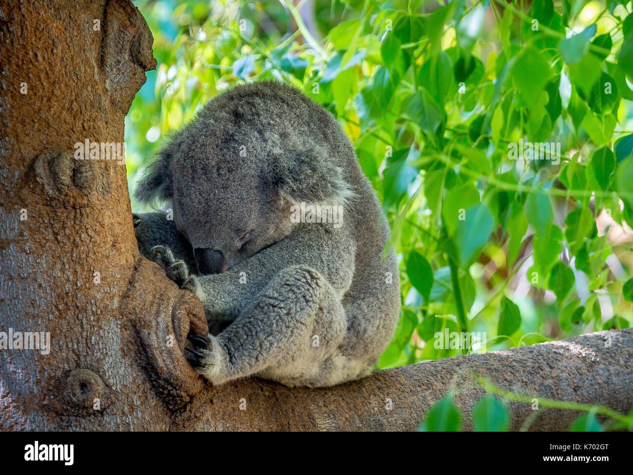 Koala bear naps - Stock Image