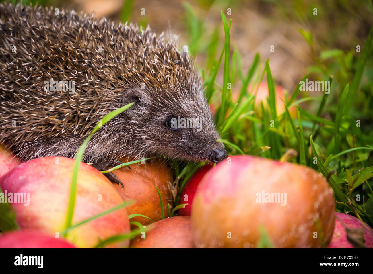 Hedgehog on aplles in nature view, wildlife portrait - Stock Image