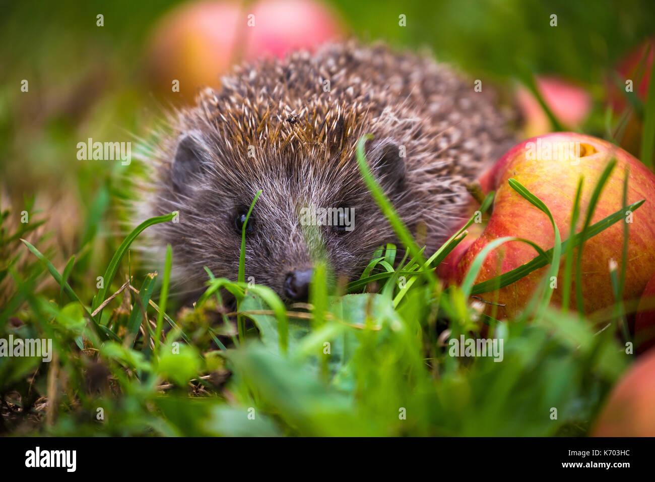 Hedgehog and aplles in nature view, wildlife portrait of Erinaceus europaeus - Stock Image