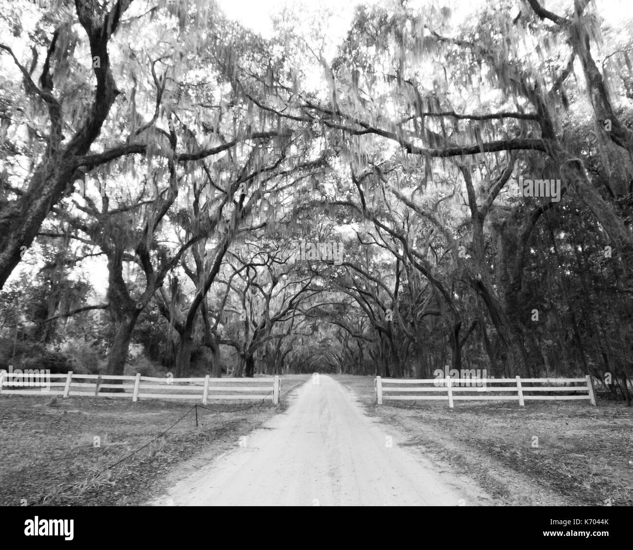 a black and white painted effect image of famous weepy willow trees in Savannah, Georgia at the Wormsloe historic site - Stock Image