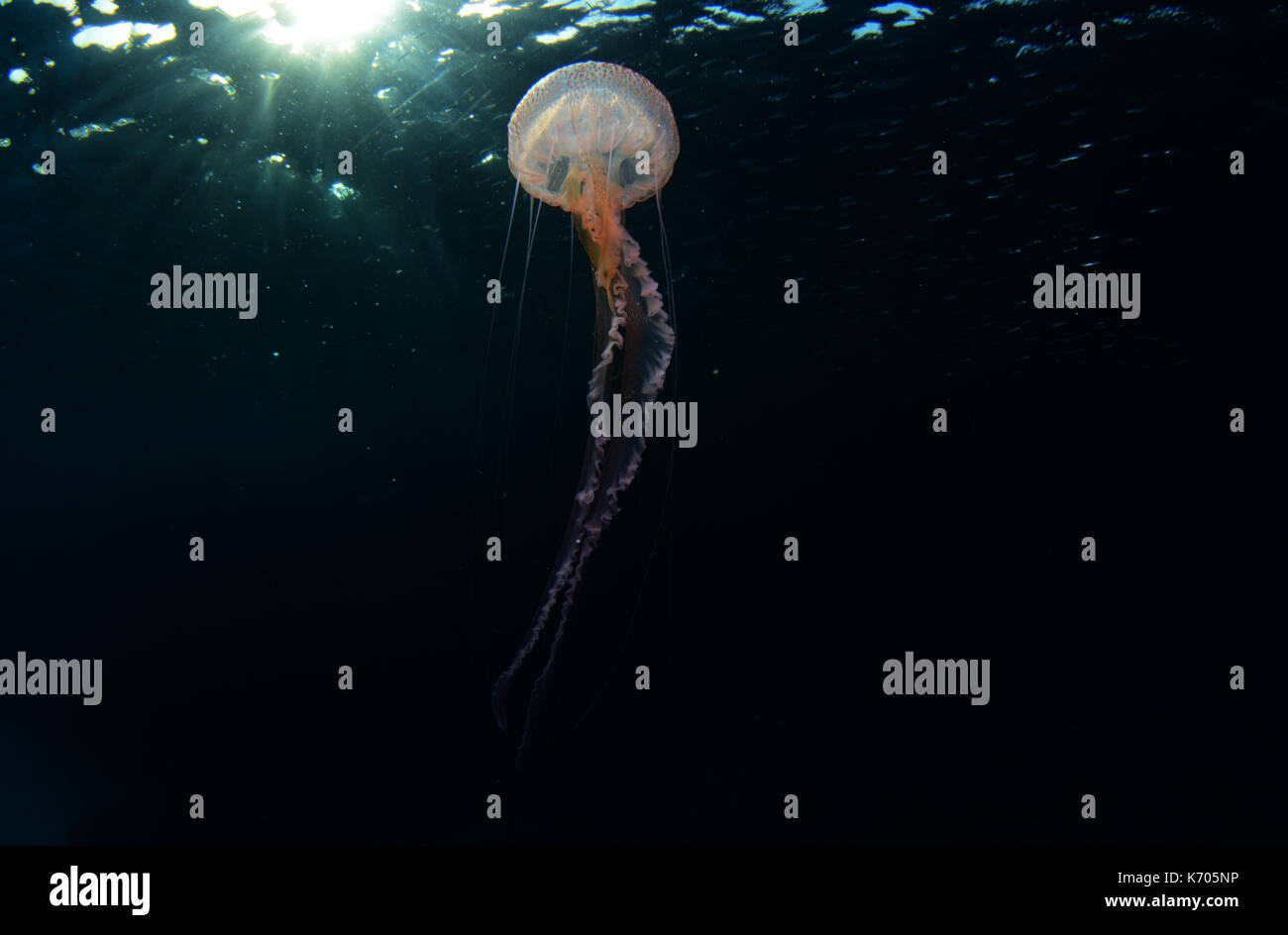 Mauve stinger jellyfish underwater at Cala Balanca, Menorca - Stock Image