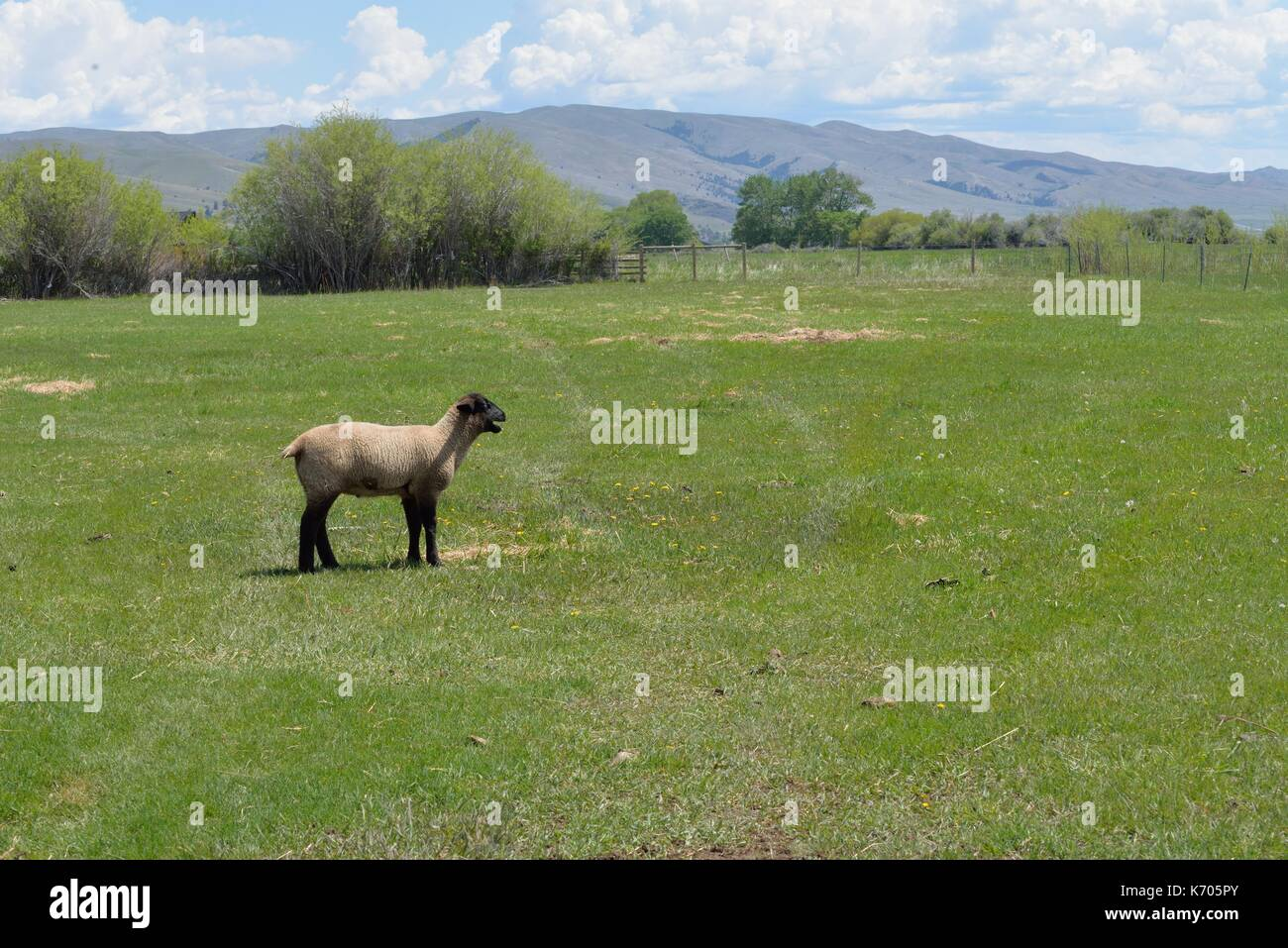 Young sheep bleats to find the herd. - Stock Image