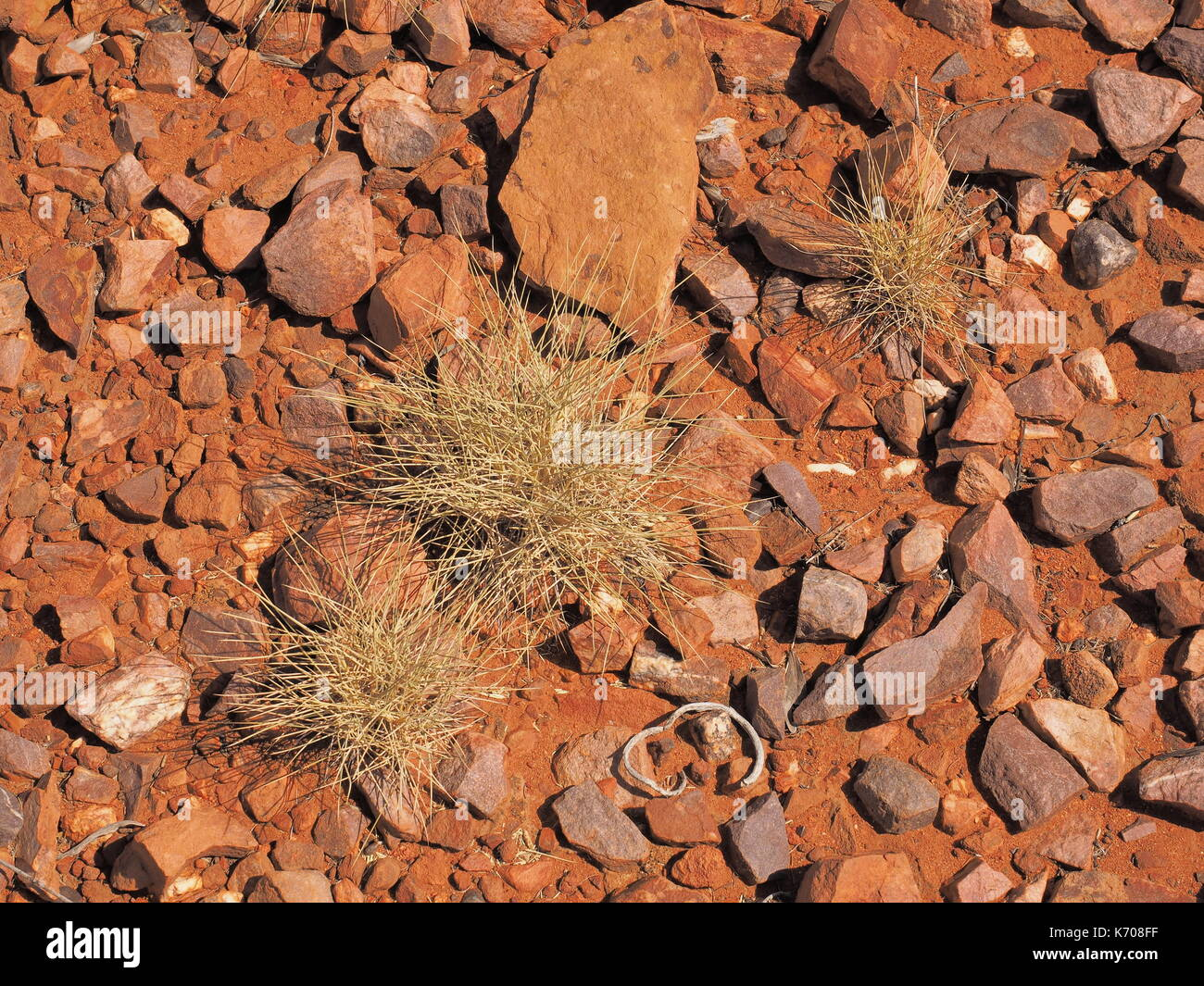 Spinifex  Triodia species on red rock surface at Trephina Gorge, east MacDonnell ranges near Alice Springs, Northern Territory, Australia 2017 - Stock Image