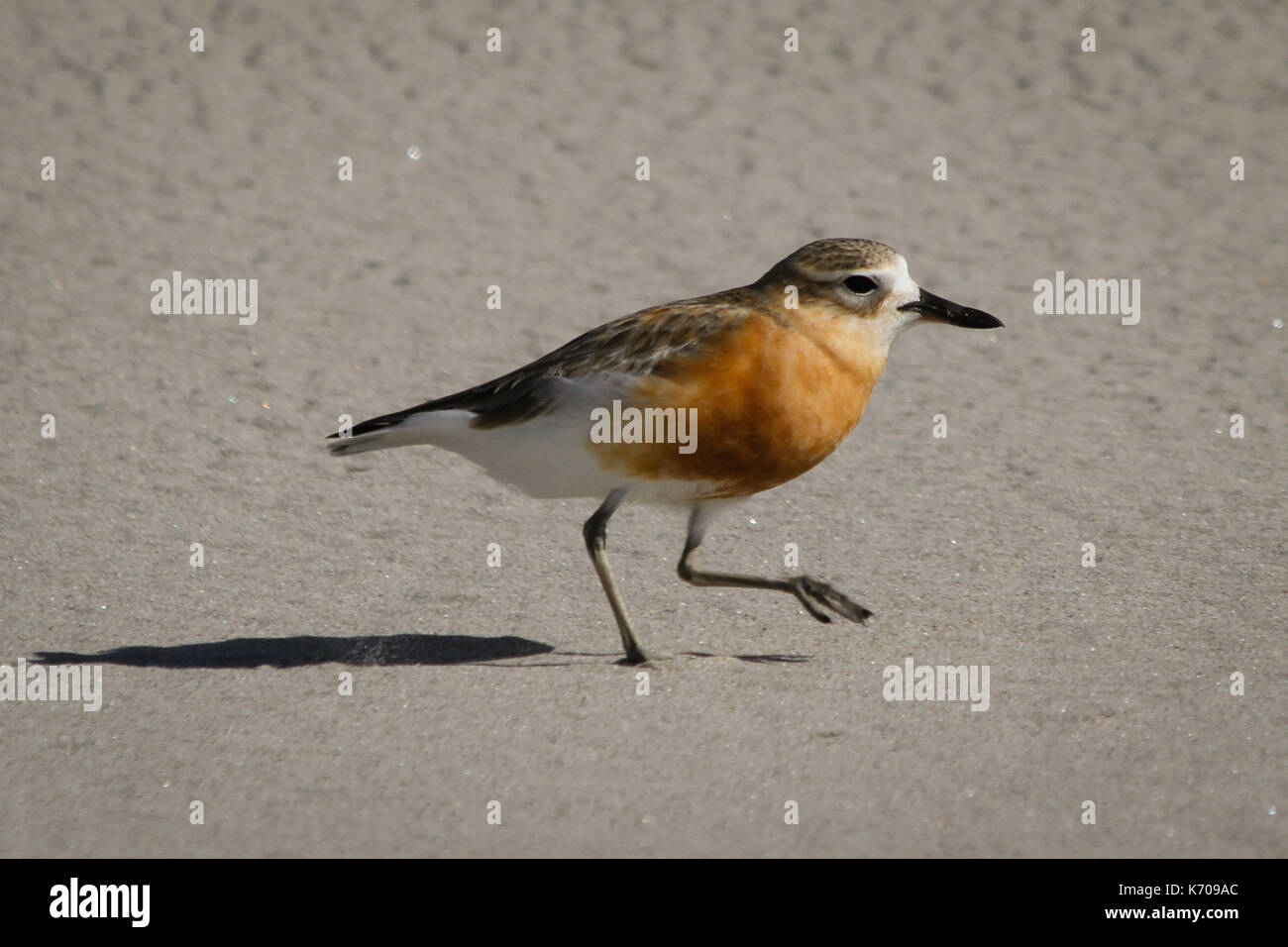 New Zealand Plover Stock Photo