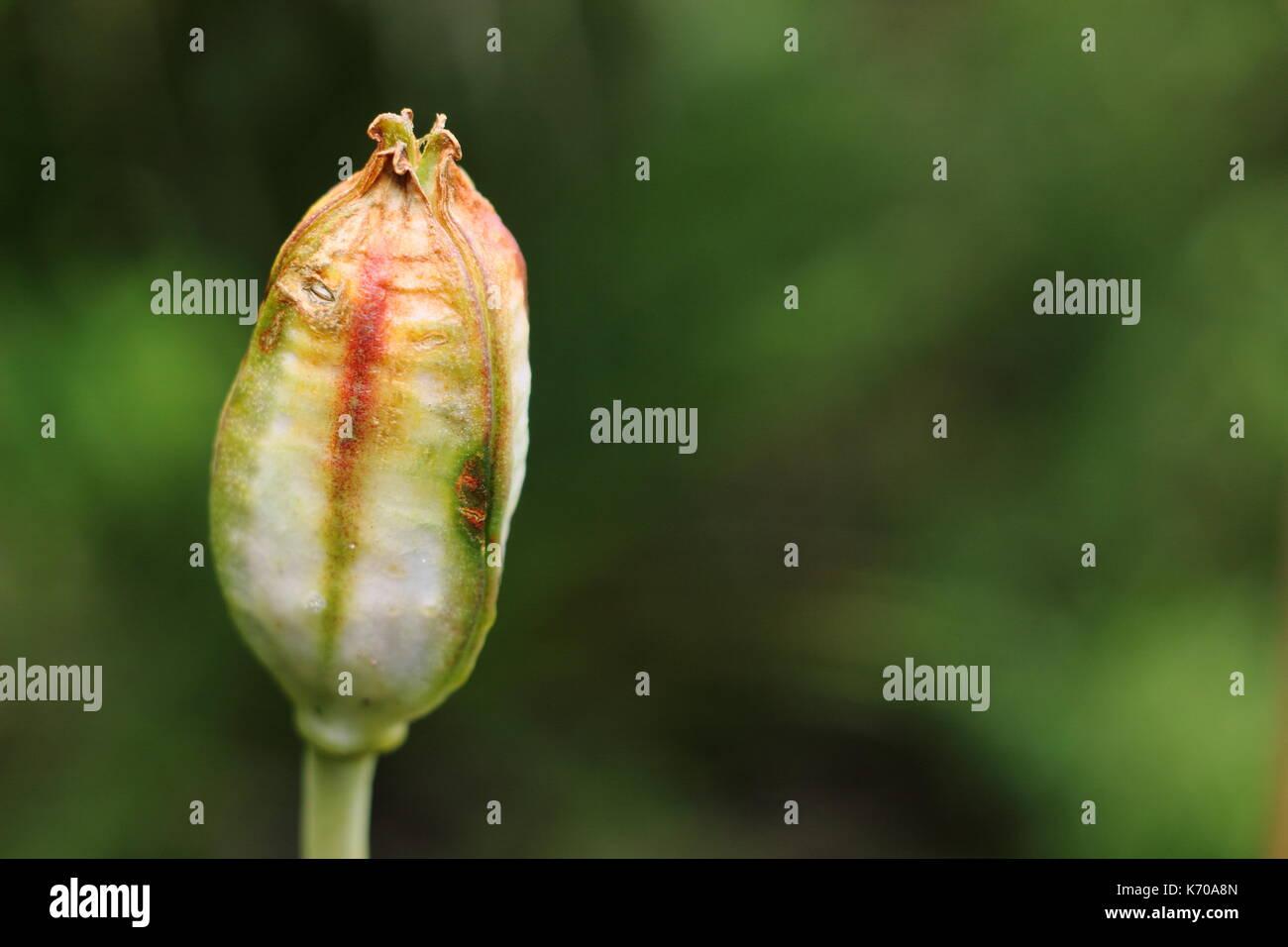 Seedhead of Sprenger's Tulip (Tulipa sprengeri), ripening in an English garden in summer - Stock Image