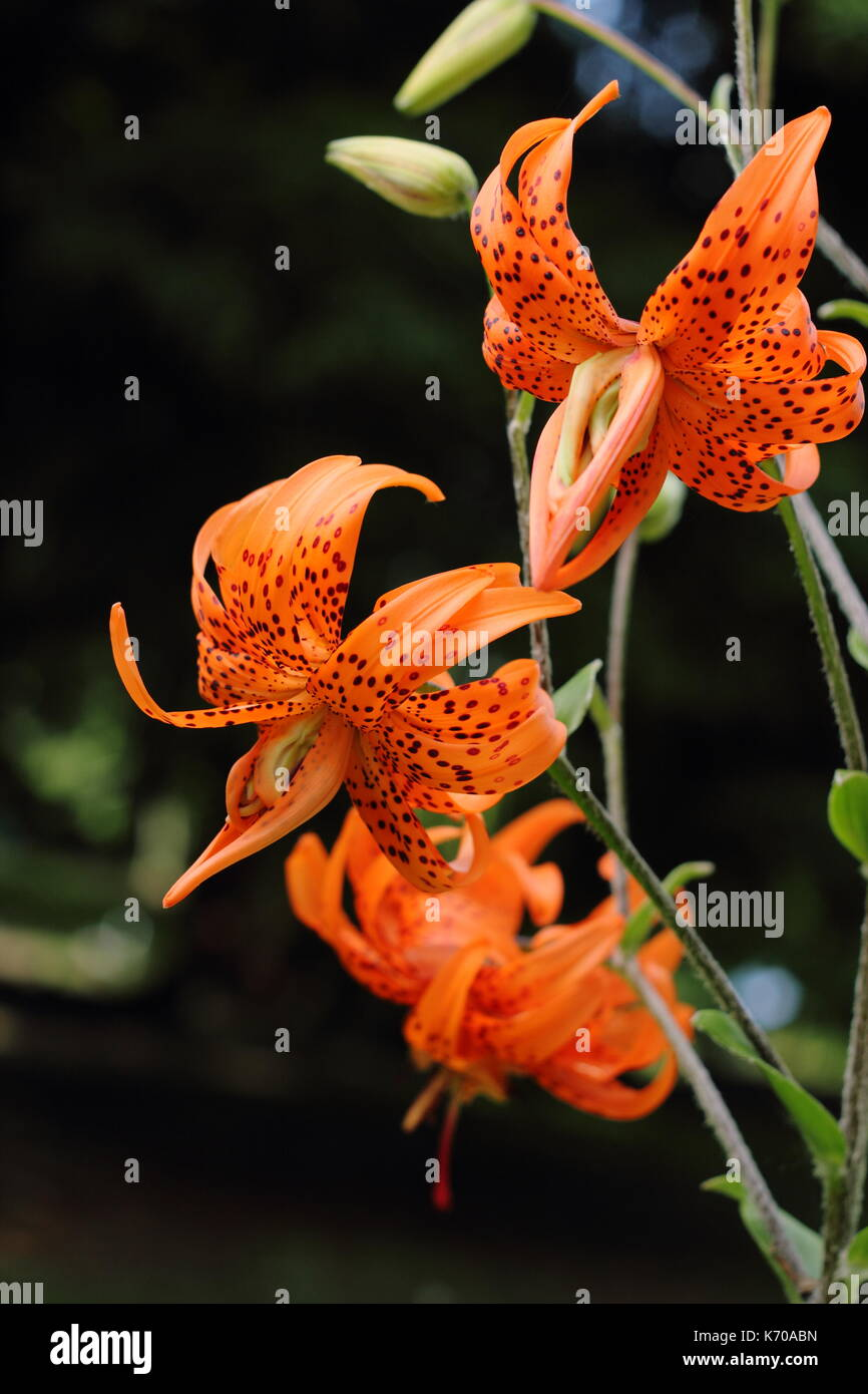 Lilium lancifolium 'Flore Pleno', also called tiger lily or Double-flowered Devil lily, flowering in an English Stock Photo