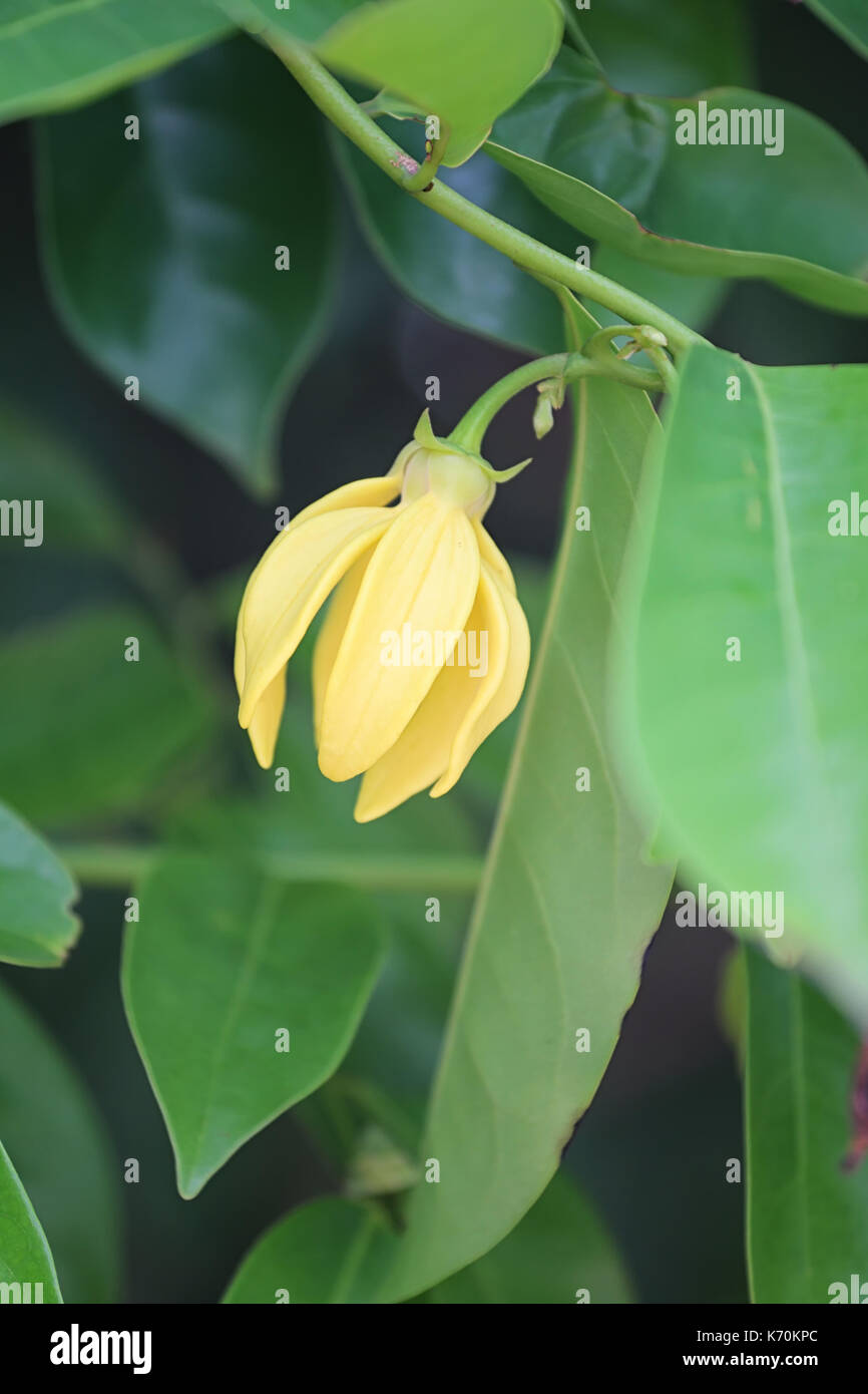Ylang Ylang Flower Of Yellow Color Bloom In The Garden Stock Photo