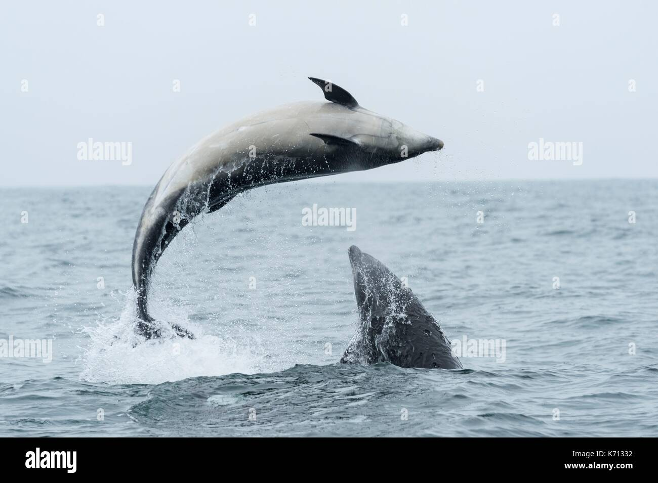United Kingdom, Northumberland, Seahouse, Farne island, Atlantic Doplphin (Delphinus delphis) - Stock Image