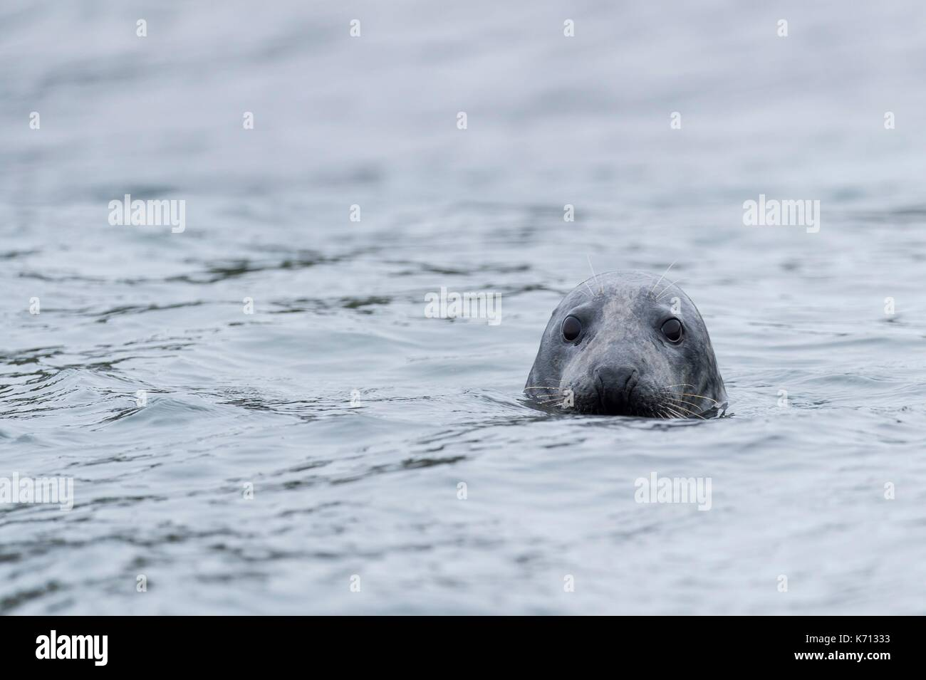 United Kingdom, Northumberland, Seahouse, Farne island, Head of a grey seal (Halichoerus grypus) emerging from the water - Stock Image