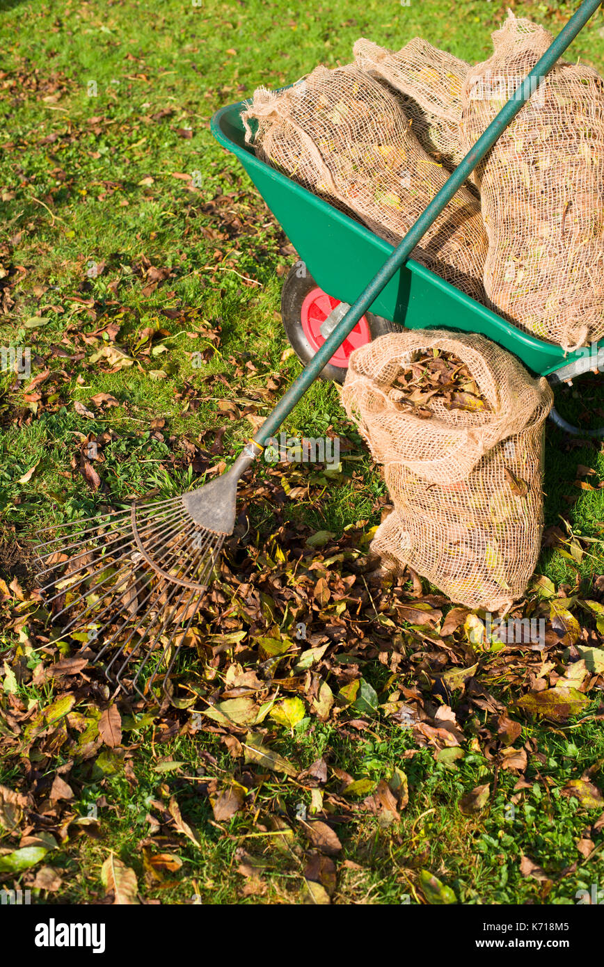 Bagging up autumn leaves - Stock Image