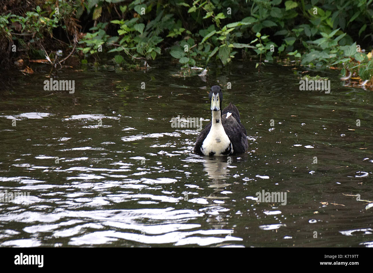 Unusual black and white mallard duck sometimes known as a hybrid or