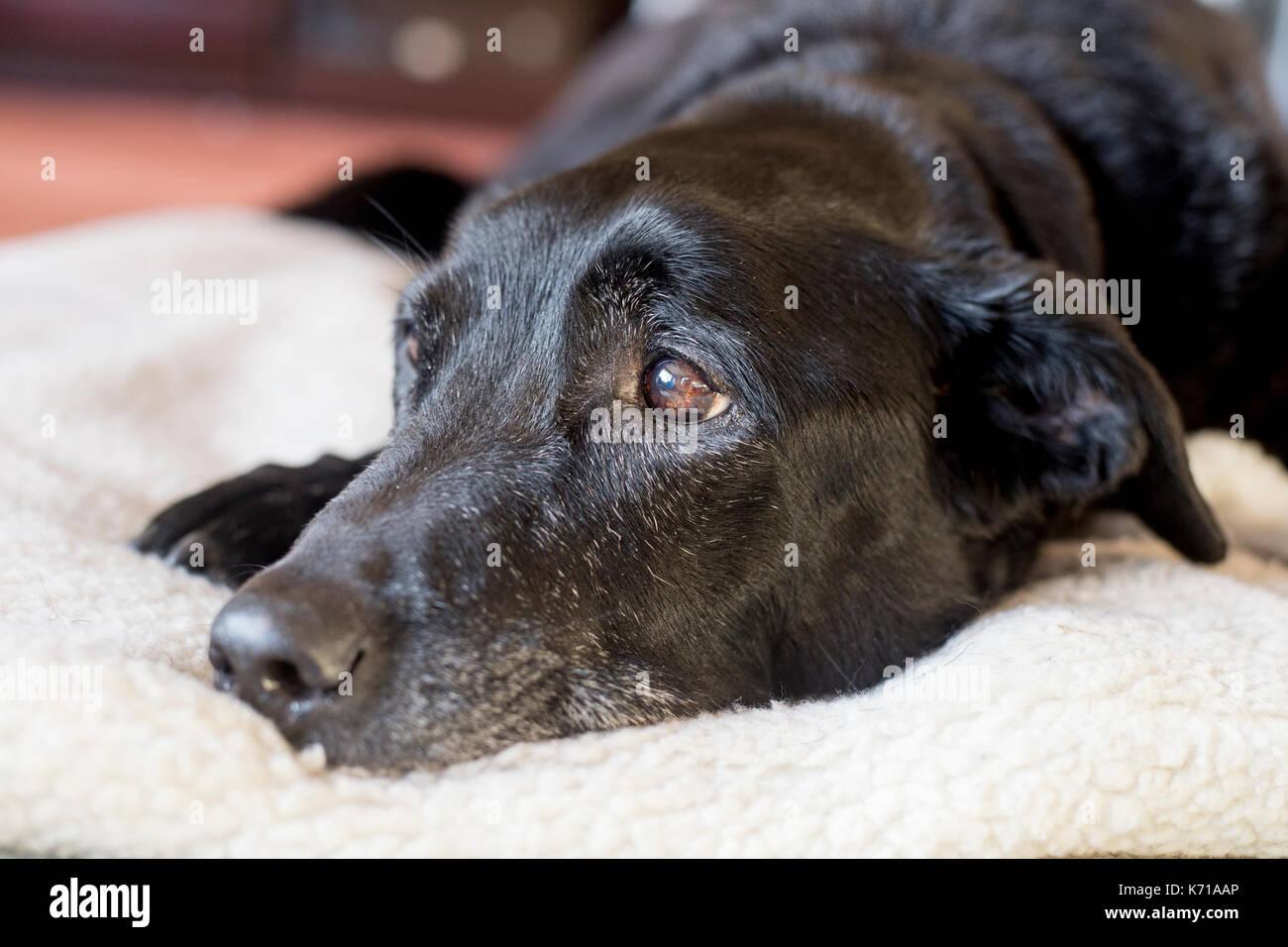 An elderly black labrador rests on a white fleece - Stock Image