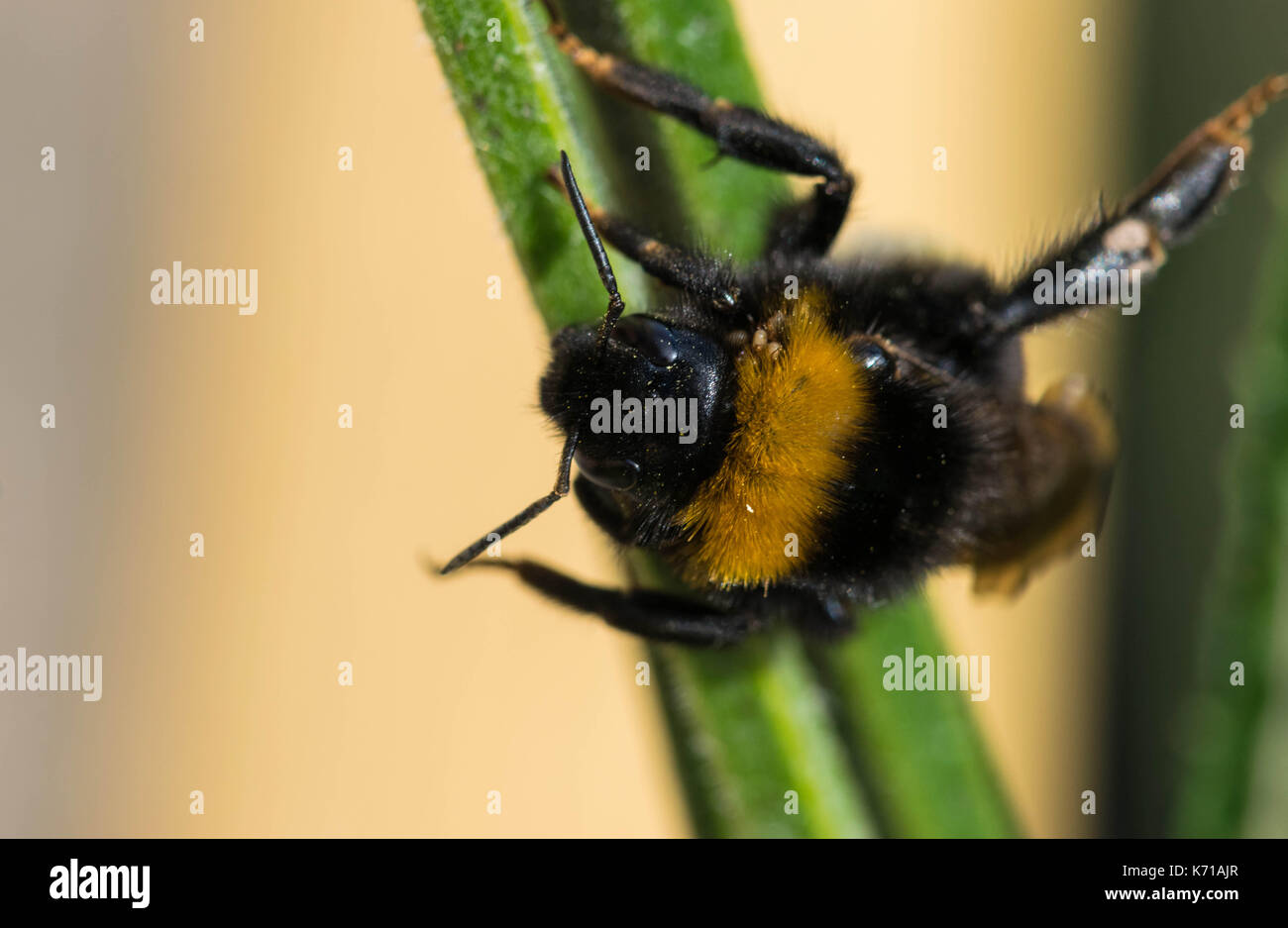 bee collecting nectar on beautiful flowers. Stock Photo