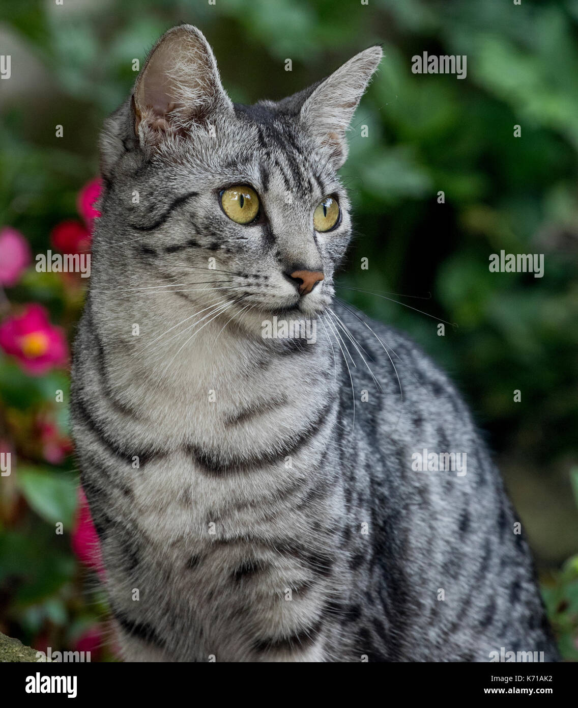An Egyptian Mau Cat sitting on a garden wall Stock Photo