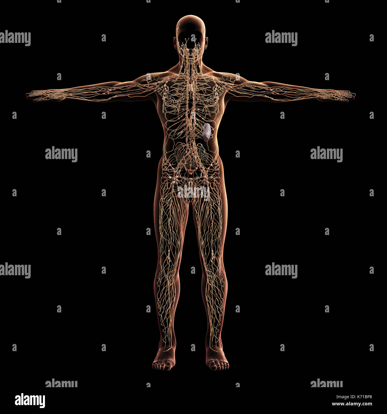 Digital model of lymphatic system, 3d rendering, black background - Stock Image