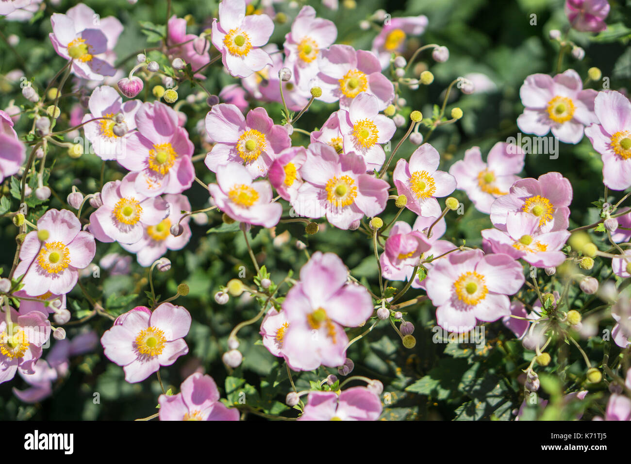 Macro close-up of magenta flowers in a park. - Stock Image