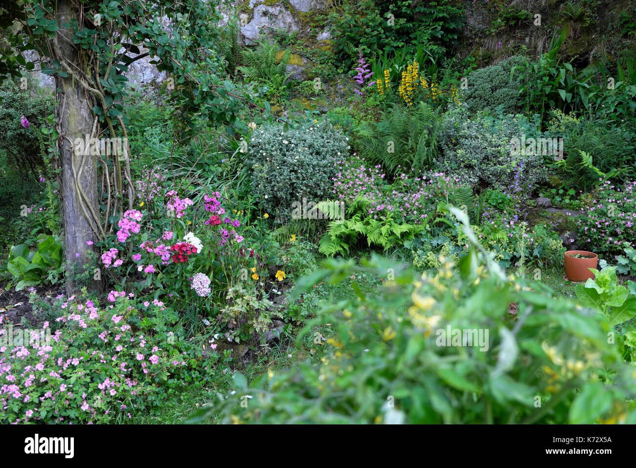 Perennial rockery garden in bloom with sweet williams, honeysuckle climbing rose, pink geranium in border July in rural Wales UK   KATHY DEWITT - Stock Image