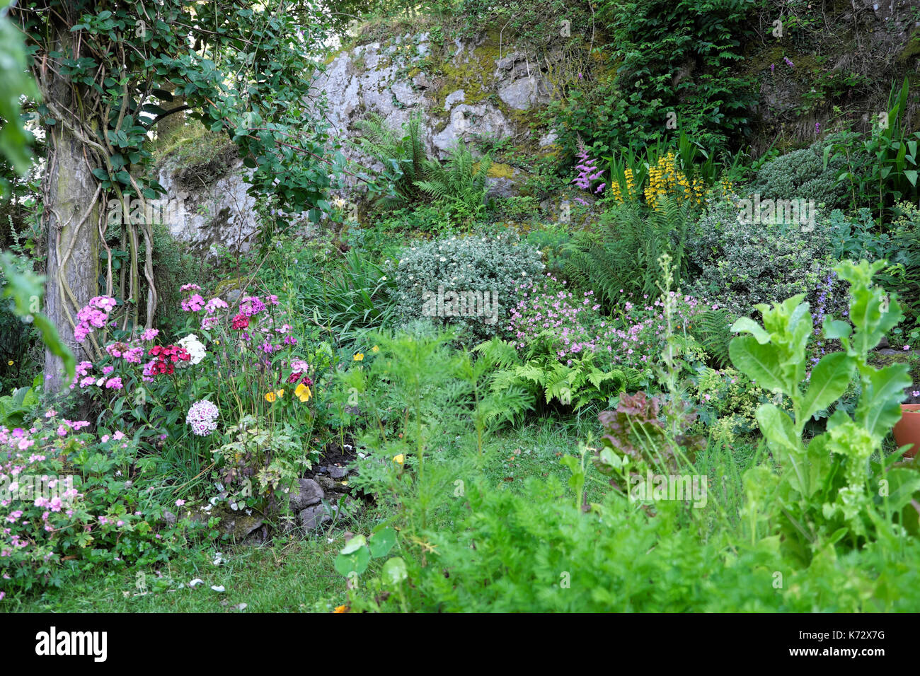 Backyard country cottage garden honeysuckle climbing pole Sweet William & herbaceous border flowers in July in rural Wales UK   KATHY DEWITT - Stock Image