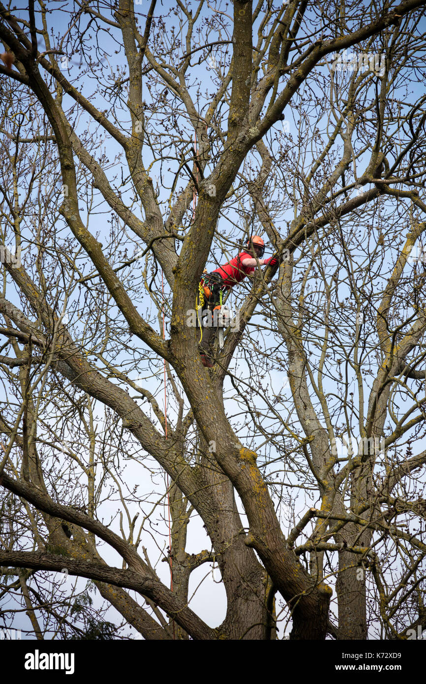 Tree surgeons work on trees in the churchyard at St Stephens Church, Tonbridge, Kent, UK - Stock Image