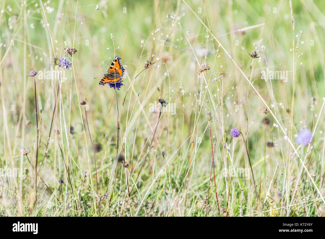 A small tortoiseshell butterfly (Aglais urticae) on wild flowers - Stock Image