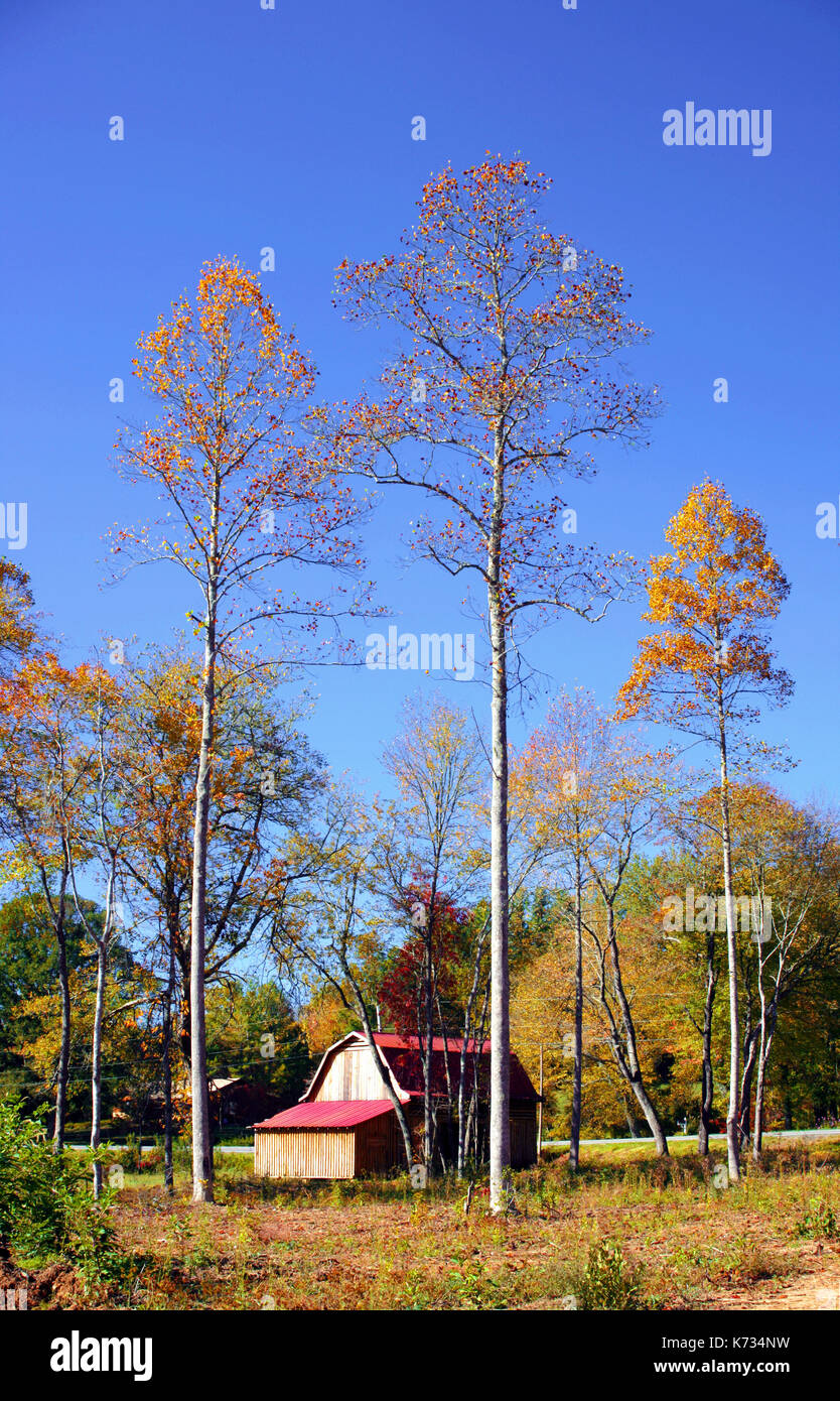 A view of a traditional American barn surrounded by tall trees at the peak of the fall season in North Carolina, USA - Stock Image