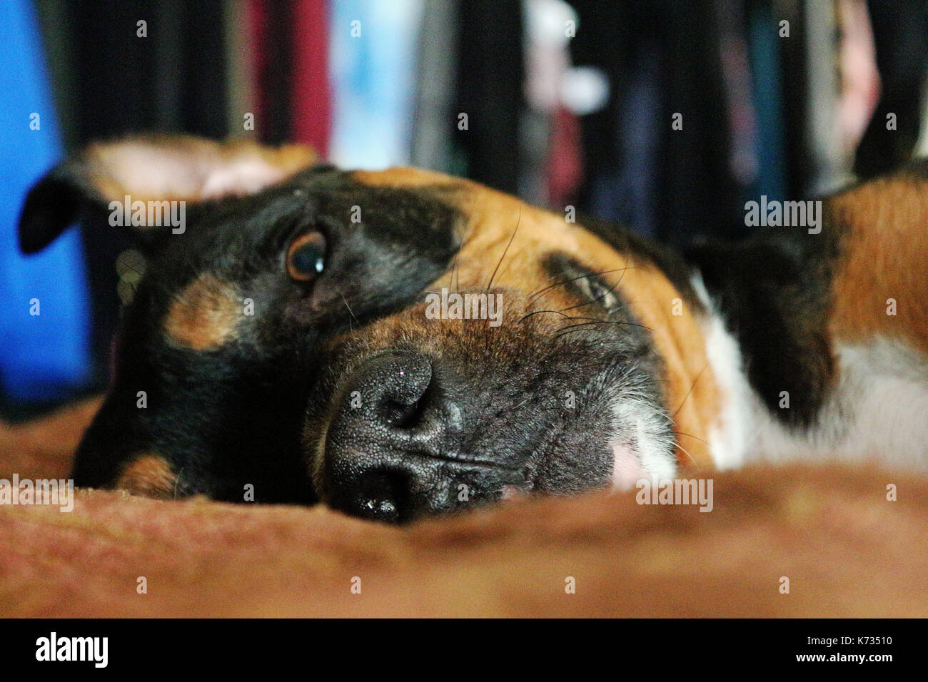 A Face Shot Of A Rottweiler Pit Bull Mix Breed Dog Laying On His