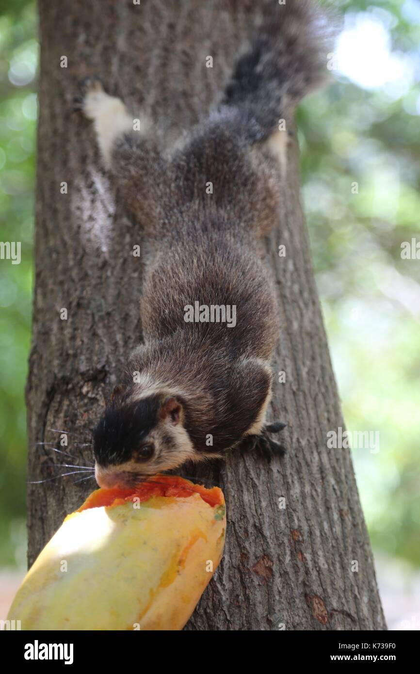 Sri Lankan Grizzled Giant Squirrel Stock Photo