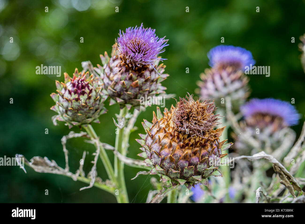 Milk Thistle in full bloom growing in the garden. The plant is used both as medicine and as a health diet supplement. Silybum Marianum - Stock Image