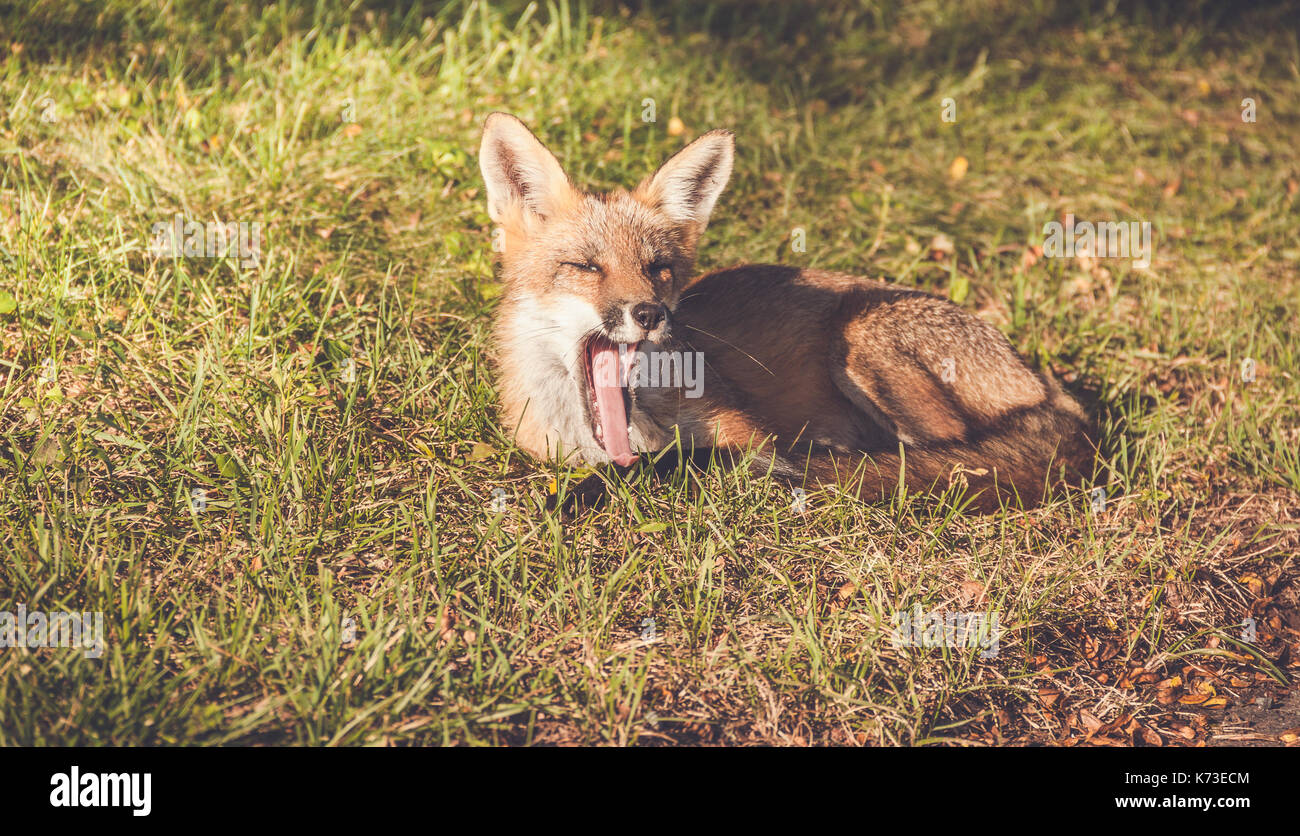 Young Red Fox (Vulpes vulpes) makes funny faces while relaxing in late afternoon sun, vintage garden setting - Stock Image