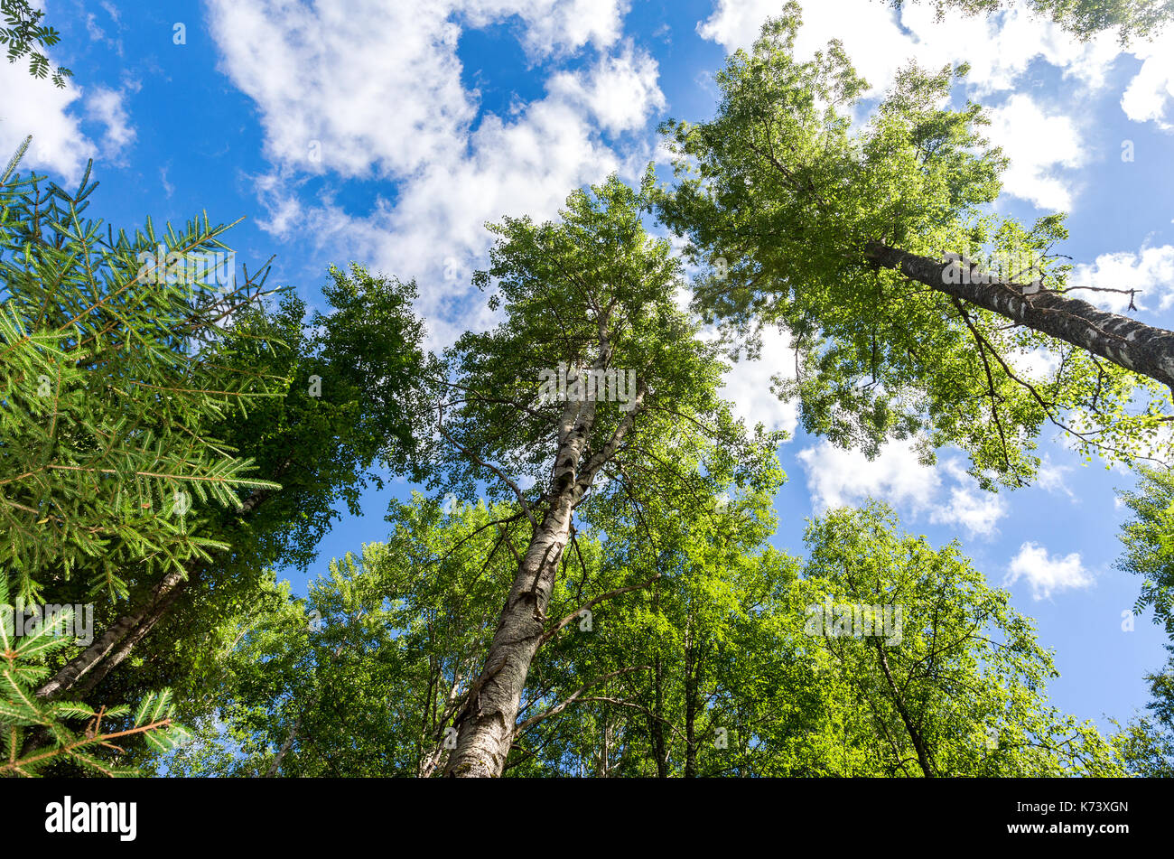 Crowns of tall birch trees above his head in the forest against a blue sky. Wild nature of the forests. Deciduous forest in summertime - Stock Image