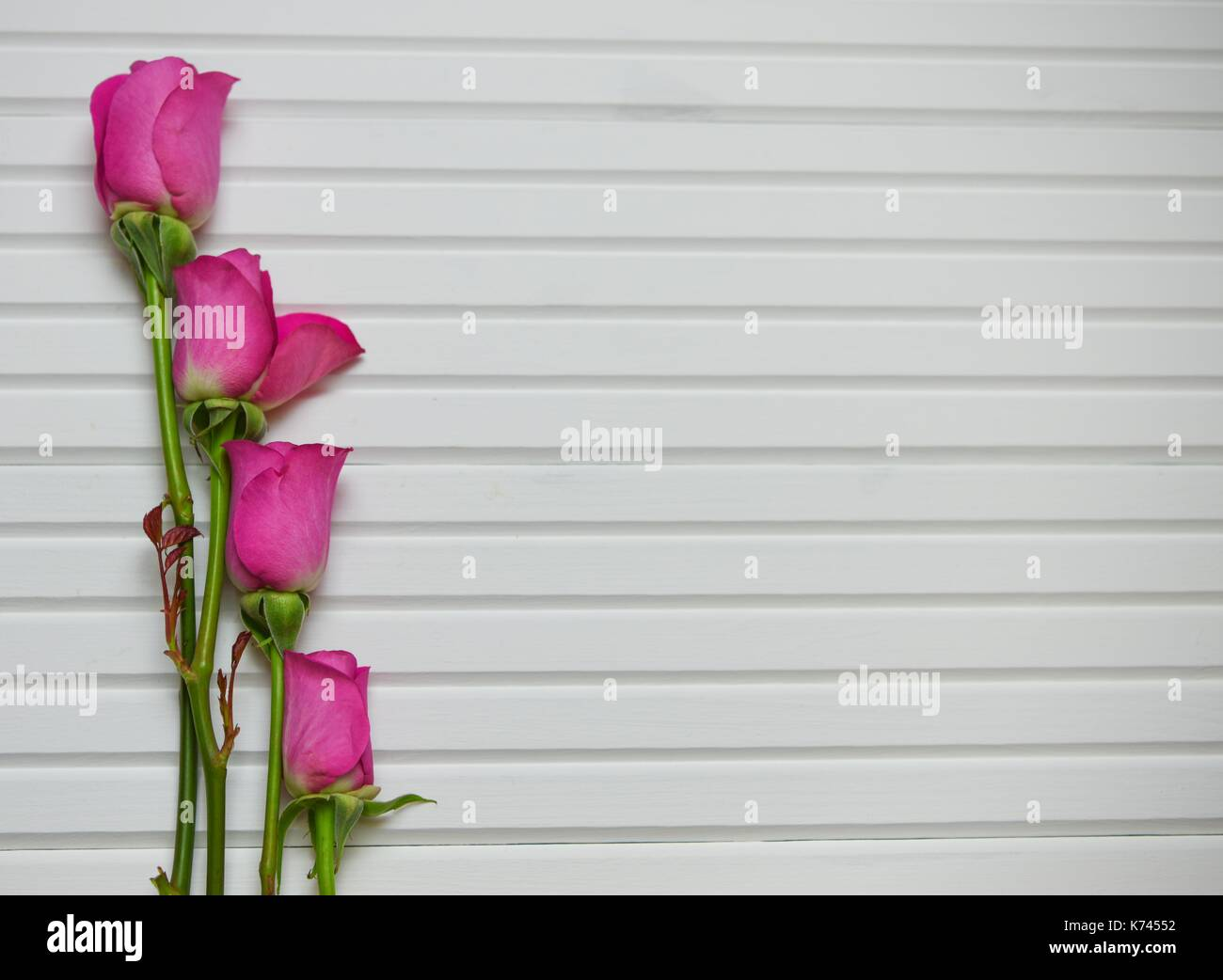 valentine romantic flower photography image of four bright pink roses  on white wood panel background with green leaves and stems and space - Stock Image