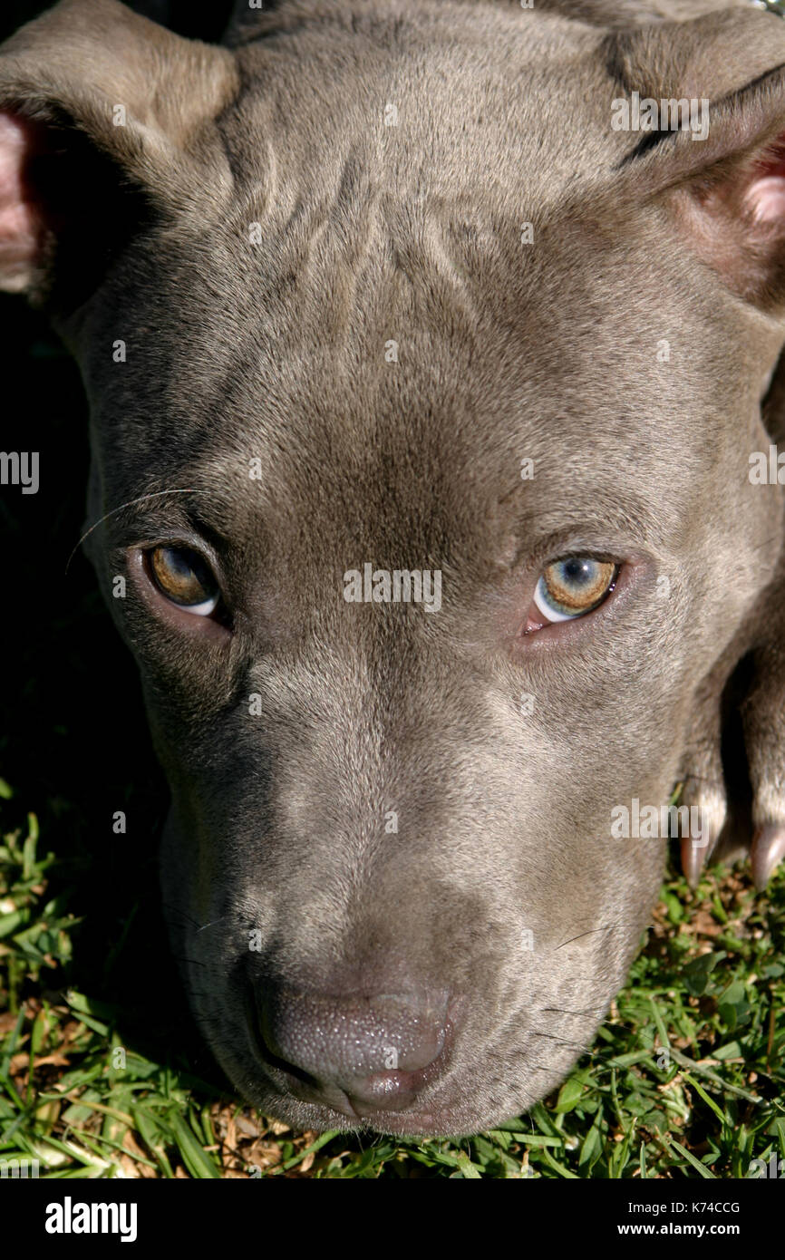 American Pit Bull Puppy - Stock Image