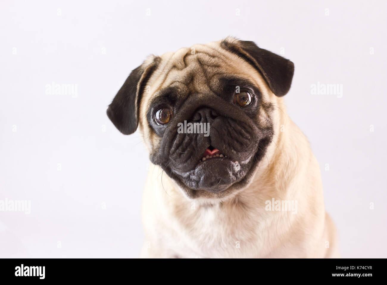 Sitting dog pug with the big eyes isolated - Stock Image