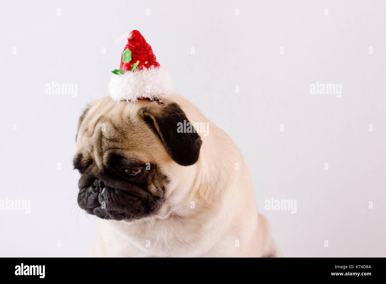 Very sad dog pug with the christmas hat on the white ground. Isolated - Stock Image