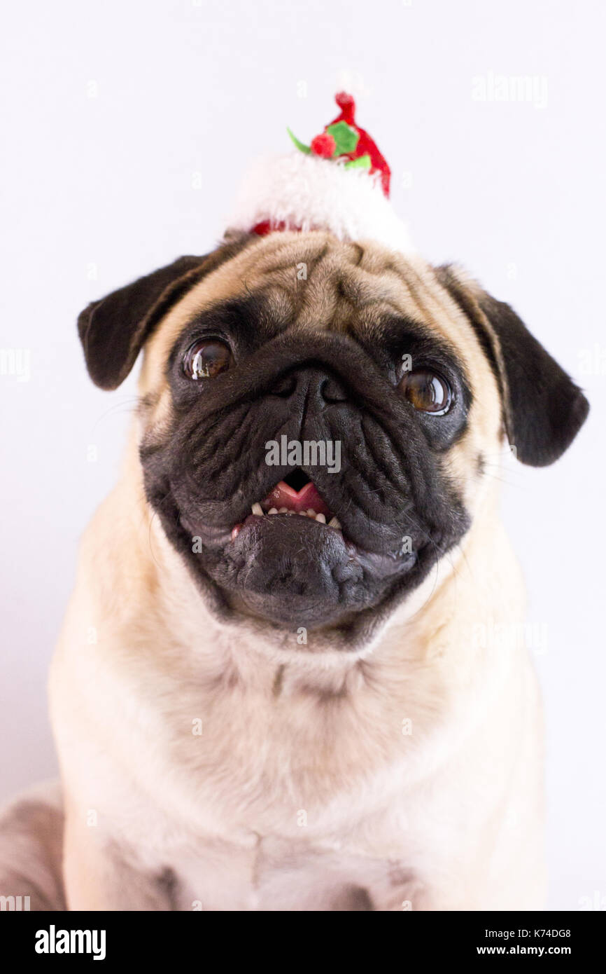 Dog pug with the christmas hat on the white ground. Isolated - Stock Image