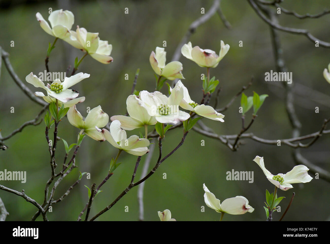 Flowering Dogwood Tree Stock Photos & Flowering Dogwood Tree Stock ...