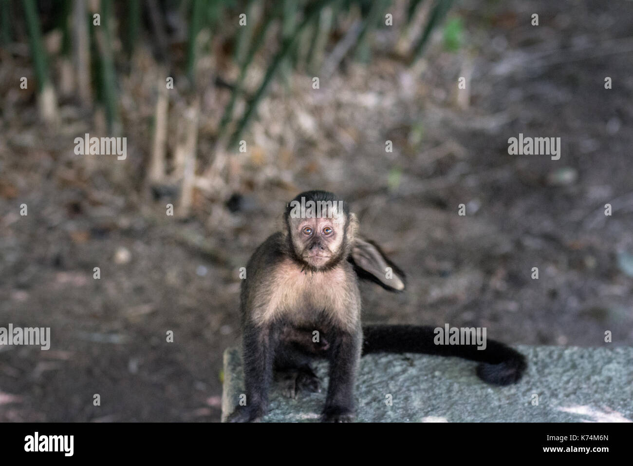 All over Brazil is possible to find the Capuchin monkey