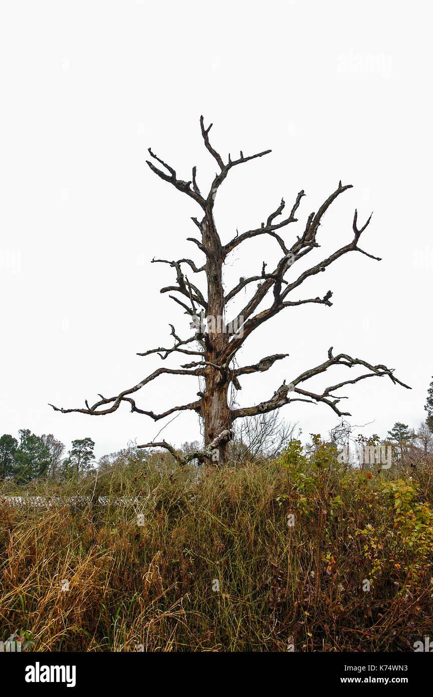 Dead Tree found in North Carolina. Stock Photo