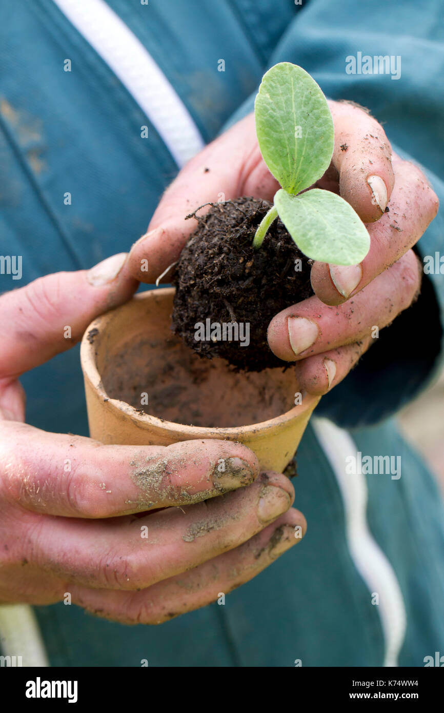 Gardening: plant shoot and compost in a pot - Stock Image