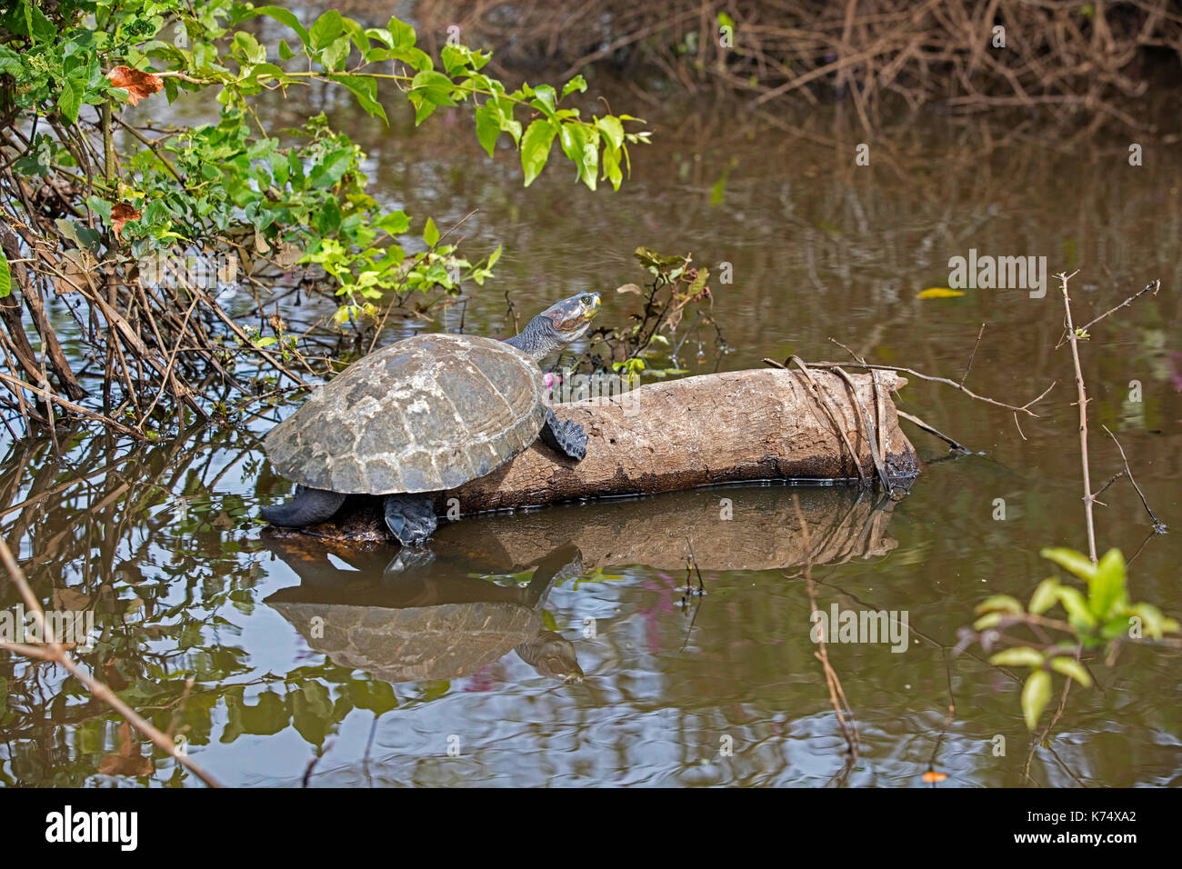 Yellow-spotted Amazon river turtle / yellow-spotted river turtle (Podocnemis unifilis) resting on log in river, native to South America's Amazon Basin - Stock Image