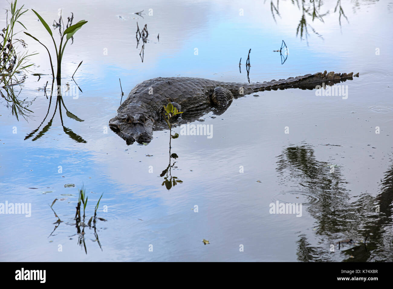 Black caiman (Melanosuchus niger), large crocodilian of the Amazon basin in South America - Stock Image