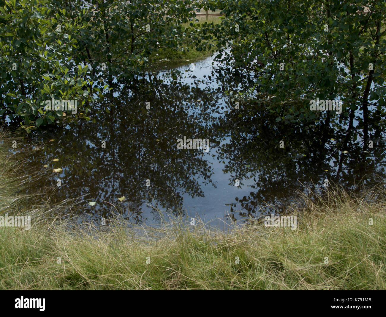 Alder Trees reflected in water in Streetscape's Holding Back the Flood Garden designed by Will Williams at RHS Hampton Stock Photo