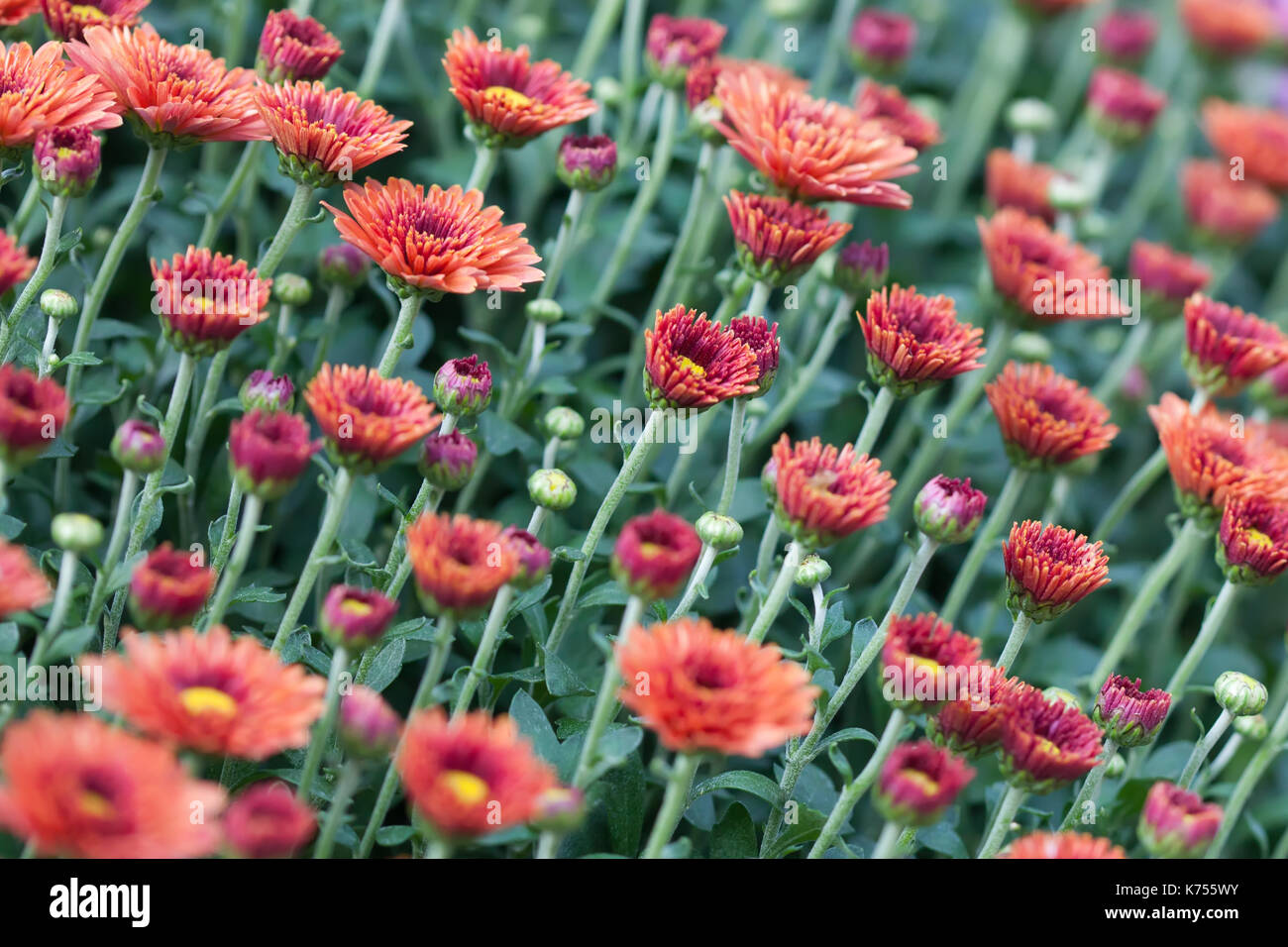 Field red chrysanthemums floral background. Many colorful mums flowers close-up photo. Selective focus - Stock Image